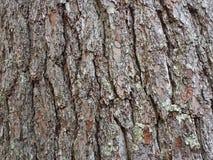 Fundo da casca de pinheiro Imagem de Stock