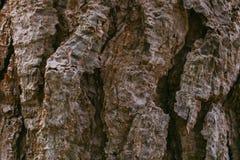 Fundo da casca de pinheiro Textura da árvore de casca Textura e fundo abstratos para o projeto gráfico Textura orgânica Sumário á Fotografia de Stock