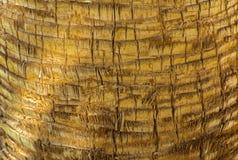 Fundo da casca de uma palmeira Imagem de Stock Royalty Free