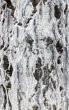 Fundo da casca de vidoeiro Fotografia de Stock