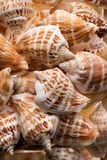 Fundo da coleção das conchas do mar Fotografia de Stock Royalty Free