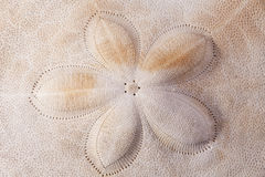 Fundo da concha do mar da armadura do macro do diabrete de mar Fotografia de Stock Royalty Free