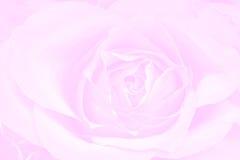 Fundo da cor-de-rosa de Rosa Imagens de Stock