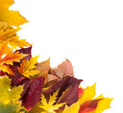 Fundo da estação do outono, folhas de bordo amarelas Fotos de Stock Royalty Free