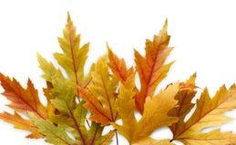 Fundo da estação do outono, folhas de bordo amarelas Foto de Stock Royalty Free