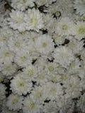 Fundo da flor branca imagem de stock royalty free