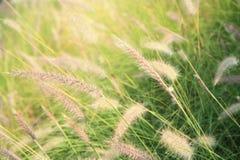 Fundo da flor da grama Fotografia de Stock