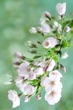 Fundo da flor da mola Imagem de Stock Royalty Free