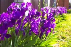 Fundo da flor da mola - flor adiantada da íris da mola do roxo abaixo Imagens de Stock Royalty Free
