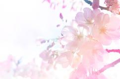 Fundo da flor de cerejeira na luz do inclinação fotografia de stock