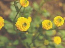 Fundo da flor do botão de ouro Fotografia de Stock