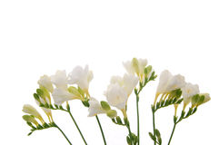 Fundo da flor do Freesia Imagem de Stock Royalty Free