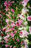 fundo da flor do lírio Imagem de Stock Royalty Free