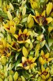 fundo da flor do lírio Imagens de Stock Royalty Free