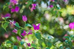 Fundo da flor do outono dos ?steres Flores do outono, flor vermelha violeta foto de stock
