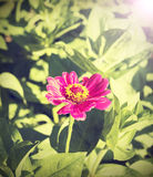 Fundo da flor do zinnia do vintage Fotografia de Stock Royalty Free