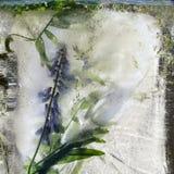 Fundo da flor da ervilha azul com as folhas do verde congeladas no gelo foto de stock
