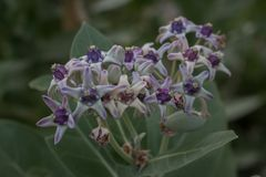 Fundo da flor, gigantea de Calotropis no jardim foto de stock