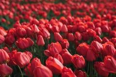 Fundo da flor Jardim vermelho fresco das tulipas Campo com as tulipas vermelhas na Turquia Imagens de Stock