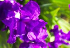 Fundo da flor da mola - flor adiantada da íris da mola do roxo abaixo Imagem de Stock Royalty Free