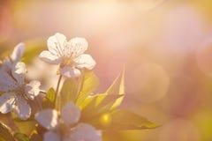 Fundo da flor da mola A cena bonita da natureza com árvore de florescência e o sol alargam-se Dia ensolarado Apenas chovido sobre imagens de stock