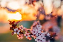 Fundo da flor da mola A cena bonita da natureza com árvore de florescência e o sol alargam-se Dia ensolarado Flores da mola em ab foto de stock