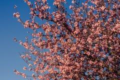 Fundo da flor da mola A cena bonita da natureza com árvore de florescência e o sol alargam-se Flores da amêndoa da mola Sumário b fotos de stock