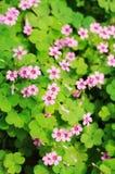 Fundo da flor selvagem Imagem de Stock