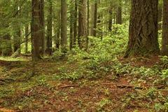 Fundo da floresta Foto de Stock Royalty Free