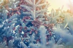 Fundo da floresta do inverno com flocos de neve e árvore de abeto com os cones em cores e na luz solar azuis do matiz Imagens de Stock
