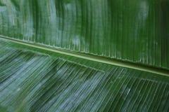 Fundo da folha da banana Foto de Stock