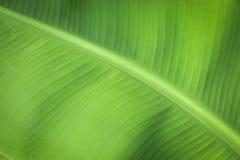 Fundo da folha da banana Fotos de Stock