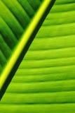 Fundo da folha da palmeira Fotografia de Stock