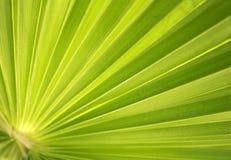 Fundo da folha da palmeira Imagens de Stock