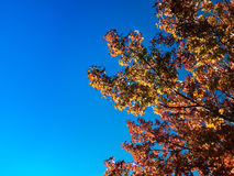 Fundo da folha de Autumn Maple Foto de Stock Royalty Free
