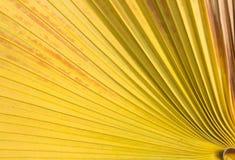 Fundo da folha de palmeira do açúcar Fotografia de Stock Royalty Free