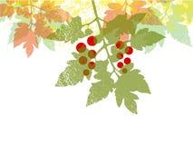 Fundo da folha do tomatoe da cereja Imagens de Stock Royalty Free