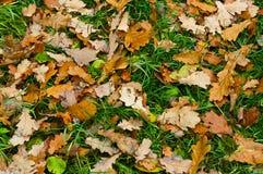Fundo da folha oaken Imagem de Stock