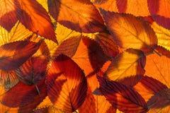 Fundo da folhagem de outono do Viburnum Foto de Stock