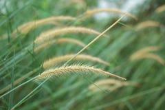 Fundo da grama de juncos Foto de Stock Royalty Free
