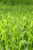 Fundo da grama verde alta Imagens de Stock