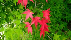 Fundo da hera verde e vermelha no outono adiantado Fotografia de Stock