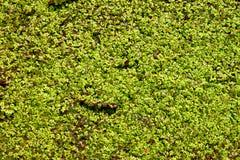 Fundo da lentilha-d'água Imagem de Stock Royalty Free