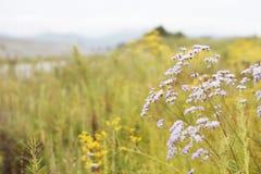 Fundo da margarida do verão da mola da natureza Fotos de Stock Royalty Free