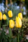 Fundo da mola com as tulipas amarelas bonitas Fotos de Stock