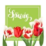 Fundo da mola com as tulipas vermelhas e brancas Flores, botões e folhas realísticos bonitos Imagens de Stock