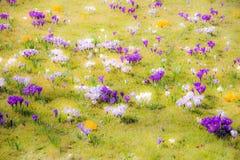 Fundo da mola com as várias flores do açafrão Foto de Stock Royalty Free