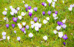 Fundo da mola com as várias flores do açafrão Fotos de Stock