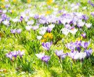 Fundo da mola com as várias flores do açafrão Fotografia de Stock Royalty Free
