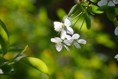 Fundo da mola com a cereja branca da flor Imagens de Stock Royalty Free